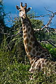 Africa, North-East District, Chobe National Park, giraffe (Giraffa camelopardalis)