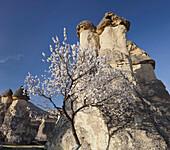 Blooming tree and the Fairy Chimney near Pasabagi, Tufa erosion, Goereme National Park, UNESCO World Nature Site, Cappadocia, Anatolia, Turkey