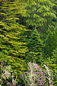 Coniferous Forest and rhododendron in blossom, near Caldeirao Verde, Queimadas Forest Park, Madeira, Portugal