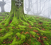Beench forest, Gorbeia nature park, Basque Country, Spain