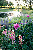 Lupines and peonies in a garden, Klein Thurow, Roggendorf, Mecklenburg-Western Pomerania, Germany