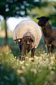 Shep in meadow, Klein Thurow, Roggendorf, Mecklenburg-Western Pomerania, Germany