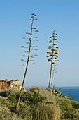 Blooming agaves at Praia da Rocha, Portimao, Algarve, Portugal, Europe