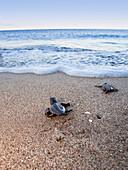 Unechte Karettschildkröten, frisch geschlüpfte Jungtiere laufen zum Meer, Caretta caretta, lykische Küste, Mittelmeer, Türkei