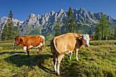 View from Hochkeil onto Mandlwand, cows on a mountain pasture, Hochkoenig, Salzburg, Austria, Europe