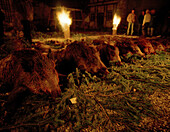 Hunted down wild sows in the courtyard at night, Schloss Frankenberg, Weigenheim, Middle Franconia, Bavaria, Germany, Europe