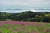 Flower meadow and Swiss Alps, Black Forest, Baden-Wuerttemberg, Germany, Europe