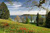 Flower meadow with tulips, Lake Constance and the Alps in the background, Mainau Island, Lake Constance, Baden-Wuerttemberg, Germany, Europe