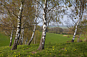 Adonis flowers and birch trees on the banks of the river Oder, Lebus Land, Brandenburg, Germany