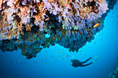 Scuba Diver and coral fishes, North Male Atoll, Indian Ocean, Maldives