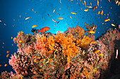 Coral Fishes over Soft Coral Reef, Baa Atoll, Indian Ocean, Maldives