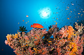 Coral Fishes over Soft Coral Reef, North Male Atoll, Indian Ocean, Maldives