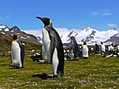 Antarctica, cruise on Boreal ship, South Georgia island, UK property, Salisbury Bay where a huge colony of king penguins is settled