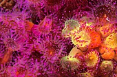 Strawberry Anemone, Jewel Anemone (Corynactis viridis), Eastern Atlantic, Galicia, Spain