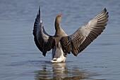 Greylag Goose Anser anser stretching