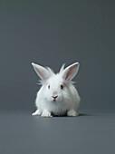Studio shot of white rabbit