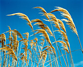yellow grasses against blue sky. wild grasses bending in the wind against bright blue sky