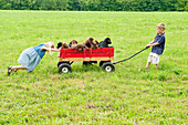 Kids pulling puppies in a wagon. young siblings playing in a field with their 8 week old labrador retriever puppies