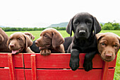 Labrador retriever puppies in a wagon. 8 week old puppies in a red wagon