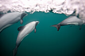 Hectors dolphins swimming underwater. Hector´s Dolphin Cephalorhynchus hectori The world