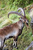 Walia Ibex or Ethiopien Ibex Capra walie, Simien Mountains National Park, old male before sunrise  Due to habitat loss the Walia Ibex is very endangered, nowadays hunting and poaching has stopped nearly completely  Over all the population is estimated bet