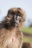Gelada, Gelada Baboon or Ethiopian Lion Theropithecus gelada in the Simien Mountains National Park in Ethiopia  Geladas are an endemic primate species living in Ethiopia  Living in the high mountain environment of the Ethiopian Highlands up to 4500m Gelad
