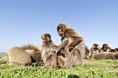 Gelada, Gelada Baboon or Ethiopian Lion Theropithecus gelada in the Simien Mountains National Park in Ethiopia  Geladas are an endemic primate species living in Ethiopia  Geladas grooming, this behaviour strengthens the bonds in the group  Living in the h