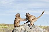 Gelada, Gelada Baboon or Ethiopian Lion Theropithecus gelada in the Simien Mountains National Park in Ethiopia  Geladas are an endemic primate species living in Ethiopia  Gelada kid playing  Living in the high mountain environment of the Ethiopian Highlan