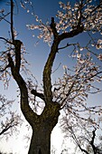 Almond tree landscape in Monegros  Perdiguera, Saragossa, Aragon  Spain, Europe
