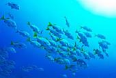 School of Burrito Grunt Anisotremus interruptus, underwater view, Ecuador, Galapagos Archipelago