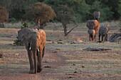 African Elephant herd Loxodonta africana  Vulnerable species   The elephant herds at Mashatu often walk in a single colum and use the paths frequentyly, creating ´elephant highways´   Mashatu Game Reserve  Tuli block, Botswana  November 2010