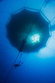 scuba diving worker and 3, 000-cubic-meter submersible fish pen installed in open ocean just off Kona Coast to raise Kona Kampachi, Hawaiian yellowtail, aka almaco jack or kahala, Seriola rivoliana, Kona Blue Water Farms, Kailua Kona, Big Island, Hawaii,