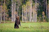 Brown Bear Ursus arctos standing upright at the edge of the forest, Finland
