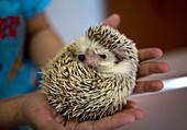 A veterinarian holds a hedgehog at a Pet Hospital in Condesa, Mexico City, Mexico, February 1, 2011