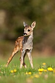 Roe Deer, capreolus capreolus, Foan with Flowers, Normandy