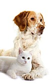 FRENCH SPANIEL CINNAMON COLOR AND WHITE DOMESTIC CAT