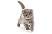 BLUE SCOTTISH FOLD CAT, 2 MONTHS OLD KITTEN AGAINST WHITE BACKGROUND
