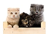 BLACK TORTOISE-SHELL BRITISH SHORTHAIR WITH BLUE AND CREAM SCOTTISH FOLD KITTENS 2 MONTHS OLD, PLAYING IN BASKET
