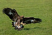 GOLDEN EAGLE aquila chrysaetos, ADULT WITH CLAWS OPENED TO CATCH A PREY