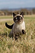 SEAL POINT SIAMESE DOMESTIC CAT, ADULT STANDING ON DRY GRASS