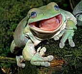 WHITE´S TREE FROG litoria caerulea, ADULT WITH OPEN MOUTH, AUSTRALIA