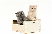 CREAM AND BLUE SCOTTISH FOLD DOMESTIC CAT, 2 MONTHS OLD KITTEN PLAYING IN A CRATE