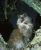 Blue Cream Persian Domestic Cat, Adult standing in Tree