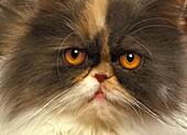 Tricolor Persian Domestic Cat, Portrait of Adult