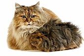 Tortoiseshell Persian Domestic Cat with long Hair Guinea Pig against White Background