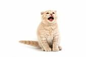 CREAM SCOTTISH FOLD KITTEN, MEOWING AGAINST WHITE BACKGROUND