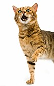 BROWN SPOTTED TABBY BENGAL DOMESTIC CAT, ADULT HOLDING FRONT LEG UP