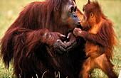 ORANG UTAN pongo pygmaeus, MOTHER WITH BABY