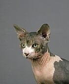 SPHYNX DOMESTIC CAT, CAT BREED WITH NO HAIR, PORTRAIT OF ADULT
