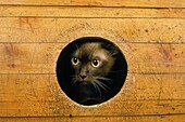 CHOCOLATE BURMESE DOMESTIC CAT, FRIGHTENED EXPRESSION